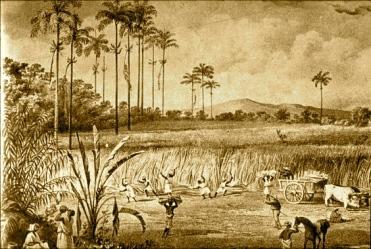 Sugar Cane Harvest, Trinidad, 1836