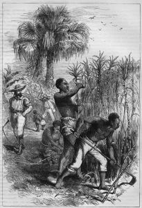 Working in Sugar Cane Fields, 19th cent.